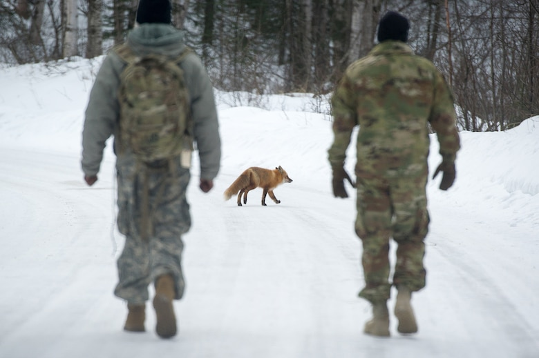 A fox crosses the road in front of paratroopers assigned to the 4th Infantry Brigade Combat Team (Airborne), 25th Infantry Division, U.S. Army Alaska, as they conduct a land navigation course on Joint Base Elmendorf-Richardson, Alaska, April 4, 2018.  The Soldiers used their skills to plot courses using a lensatic compass, protractor, and a 1:25,000 scale map to navigate to, and locate points using provided grid coordinates within a predetermined time.