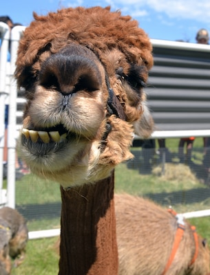 Kids, brush your teeth! An alpaca gives a lopsided smile to visitors at the petting zoo at the annual Cowboys and Heroes event held at MacArthur Parade Field at Joint Base San Antonio-Fort Sam Houston April 14.