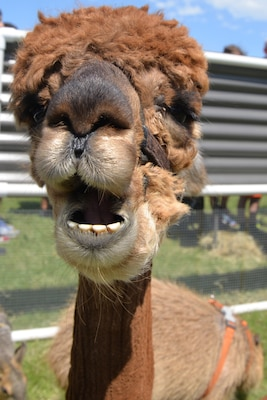 It was unclear what this alpaca was trying to say, but he looked cute doing it at the petting zoo at the annual Cowboys and Heroes event held at MacArthur Parade Field at Joint Base San Antonio-Fort Sam Houston April 14.