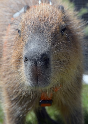 A capybara gets up close and personal in the petting zoo during the annual Cowboys and Heroes event held at MacArthur Parade Field at Joint Base San Antonio-Fort Sam Houston April 14. The native to South America is the largest living rodent in the world.