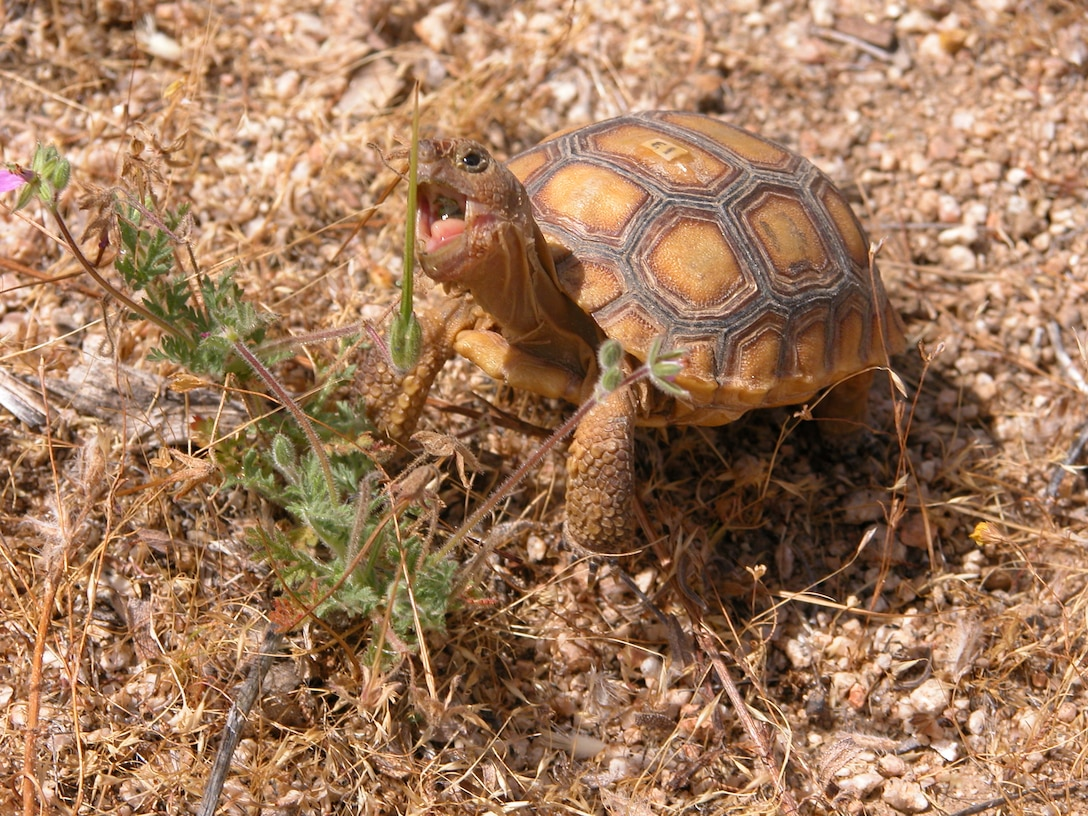 Even with conservation, the desert tortoise numbers continue to decline. Edwards Environmental Management is partnering with San Diego Zoo Global and the United States Geological Survey in an effort to increase the desert tortoise population through head-starting and translocation research. (Courtesy photo)