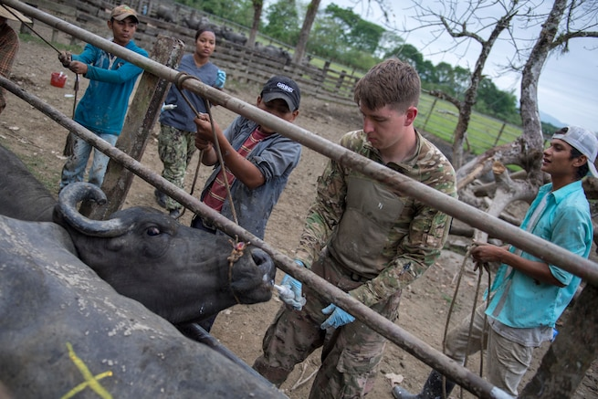 A U.S. Army veterinarian treats a water buffalo.