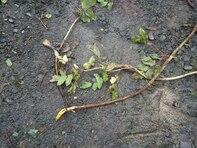 Oregon Grape Plant