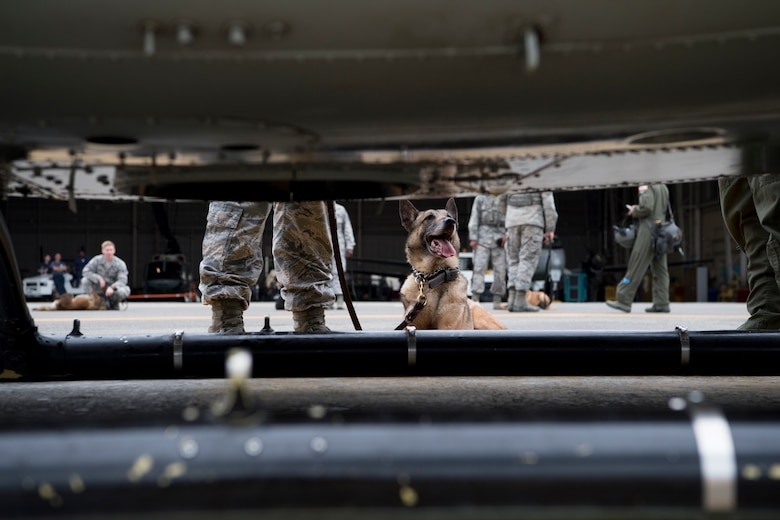 Diesel, 374th Security Forces Squadron military working dog, lays down on the flightline during a 459th Airlift Squadron MWD familiarization flight July 26, 2018, at Yokota Air Base, Japan.