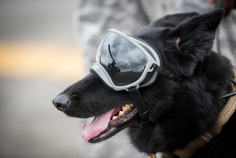 Stella, 374th Security Forces Squadron military working dog, waits for her turn to board a UH-1N helicopter during a 459th Airlift Squadron MWD familiarization flight July 26, 2018, at Yokota Air Base, Japan.