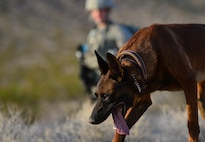Senior Airman Elijah, 799th Security Forces Squadron military working dog handler and Ssamuel, 799th SFS MWD, inspect a trail during a training exercise Aug. 8, 2018, at Nellis Air Force Base, Nev. Summer temperatures often exceed 100 degrees Fahrenheit in the Las Vegas area which prepares these MWD teams for any fight, any time, any place. (U.S. Air Force Photo by Airman 1st Class Haley Stevens)