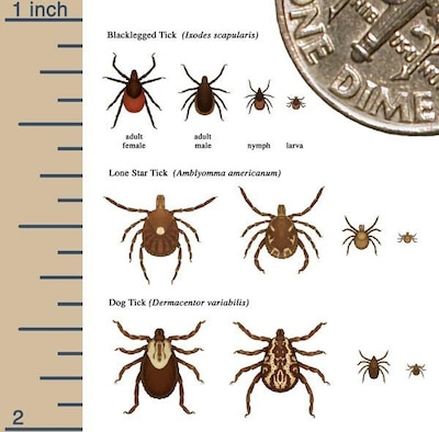 This is a photo illustration of a Blacklegged Tick, a Lone Star Tick, and a Dog Tick - in relation to Lyme Disease.