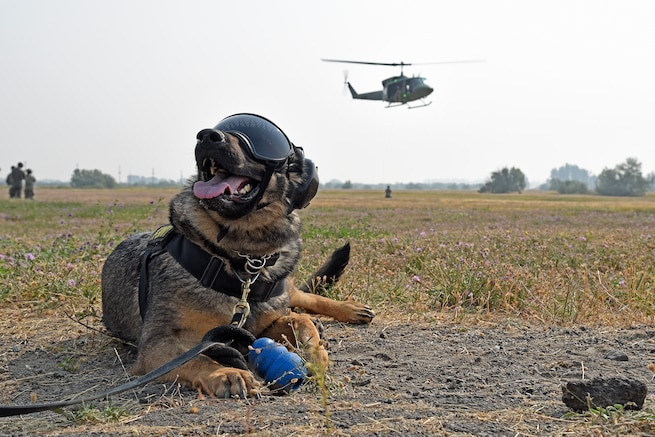 Military Working Dog Brenda waits to board a huey during training with the 36th Rescue Squadron.