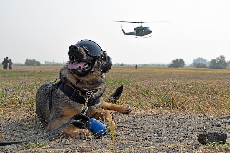 Military Working Dog Brenda waits to board a huey during training with the 36th Rescue Squadron Aug. 15, 2018, at Fairchild Air Force Base, Washington. The 36th RQS spent numerous days working closely with the 92nd Security Forces Squadron MWD section to familiarize the canines with the stimuli associated with helicopters. (U.S. Air Force photo/Staff Sgt. Mackenzie Mendez)