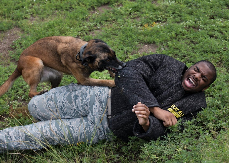 Senior Airman Ryan Harris, 96th Security Forces Squadron K9 handler, takes part in a training exercise for Caro, 96th SFS military working dog, Aug. 21, 2018, at Eglin Air Force Base, Fla. MWDs are trained to detect explosives and drugs, perform attacking tactics, patrol bases and deploy overseas with their handlers. (U.S. Air Force photo by Airman 1st Class Emily Smallwood)