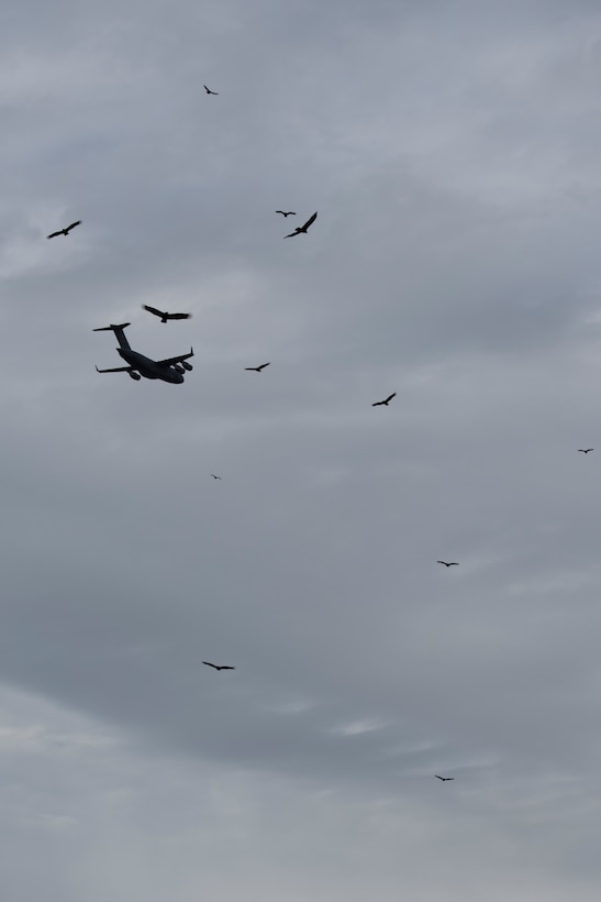 A C-17 Globemaster III aircraft assigned to the 167th Airlift Wing flies above a group of vultures soaring in thermals over Argos Cement Plant in Martinsburg, W.Va., Nov. 8, 2018. The black vultures have been roosting at the plant for more than a year posing a threat to local aviation. The 167th AW has teamed up with the USDA and Argos Cement Plant to research the behaviors of the vultures to help mitigate the aviation threats. (U.S. Air National Guard photo by Senior Master Sgt. Emily Beightol-Deyerle)