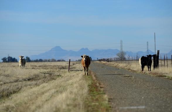 Beale's Bovines enjoy our Reconnaissance
