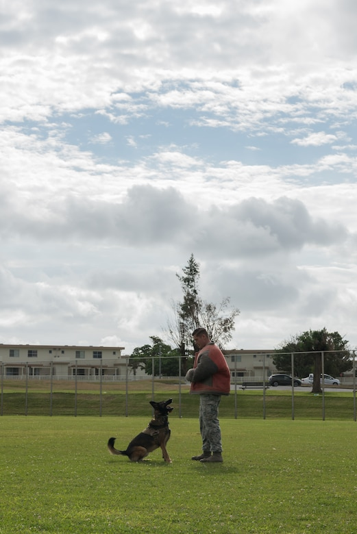 U.S. Air Force Senior Airman James Burger, 18th Security Forces Squadron military working dog handler, is watched by military working dog, Biba, Nov. 21, 2018, at Kadena Air Base, Japan. Military working dogs can be trained to aid in capturing, detaining and transporting suspects, as well as identify drugs and improvised explosive devices.