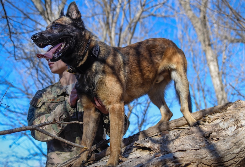 """MWD Sani from the 22nd Security Forces Squadron searches for the enemy during pursuit and attack training Dec. 10, 2018, at McConnell Air Force Base, Kansas. During this training, an """"enemy"""" will hide in the woods while the MWD searches for them and attacks their bite suit when found. (U.S. Air Force photo by Airman 1st Class Michaela R. Slanchik)"""