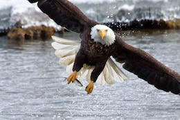 A bald eagle captures a fish in its talons.