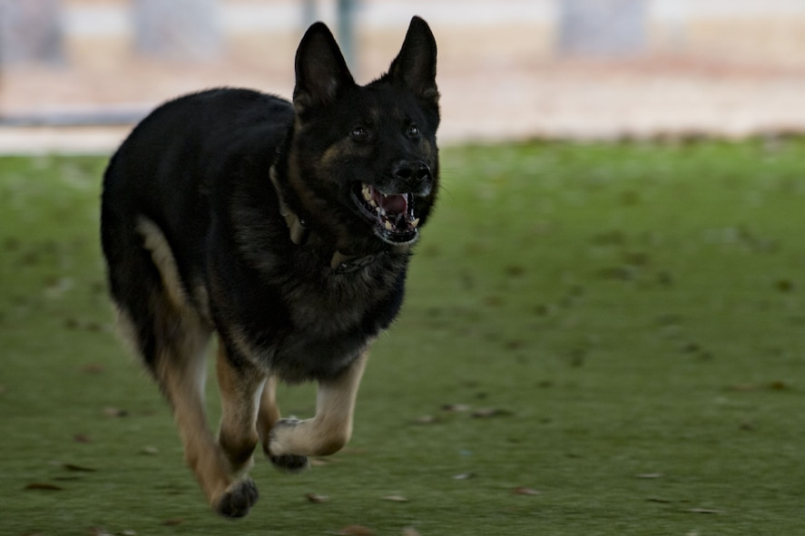 Military Working Dog (MWD) Falo sprints for an MWD capabilities demonstration during a Tour of Champions, Feb. 2, 2018, at Moody Air Force Base, Ga. The Tour of Champions recognizes 23d Wing annual award nominees and an opportunity to gain a better perspective of the 23d Wing's mission. (U.S. Air Force photo by Senior Airman Daniel Snider)