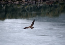 A juvenile bald eagle soars over the Columbia River in search of food.