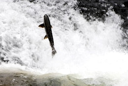 A salmon leaps out of the water to overcome an underwater obstacle on its way up the North Santiam River near Big Cliff Dam, Ore., July 7, 2011. Salmon navigate up rivers and tributaries to native spawning grounds but sometimes U.S. Army Corps of Engineers' dams block their progress. The Corps remedied this for fish swimming upstream on the North Santiam River by constructing the Minto Adult Fish Facility in 2012. Now, the Corps can trap and haul these fish above Detroit Dam.