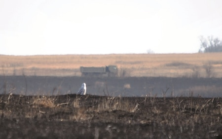 A male Snowy Owl soaks up warmth from the ash covered ground of a range recently burned by a wildfire Dec. 14 at Fort Riley. Snowy Owls are an unusual sight at Fort Riley. They spend their summer months above the Arctic Circle hunting prey like lemmings. In winter months, they venture south following prey, but generally stay nearer to the U.S.-Canadian border. Snowy Owls are among the largest owls found in North America.