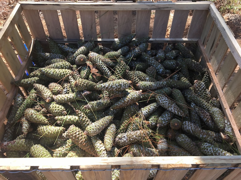 The Savannah District harvested 7500 bushels of pine cones at Fort Stewart, Georgia in fiscal year 2017, generating about $80,000 in revenue.