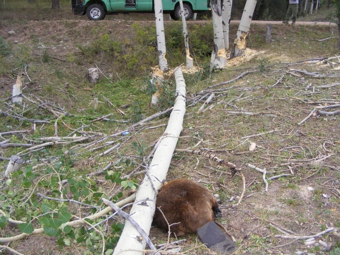A beaver was killed by a tree falling on it that was cut down another beaver.