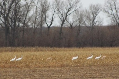 USACE and Friends of the Wild Whoopers will jointly assess whooping crane migration stopover habitat at USACE water resources development projects. 