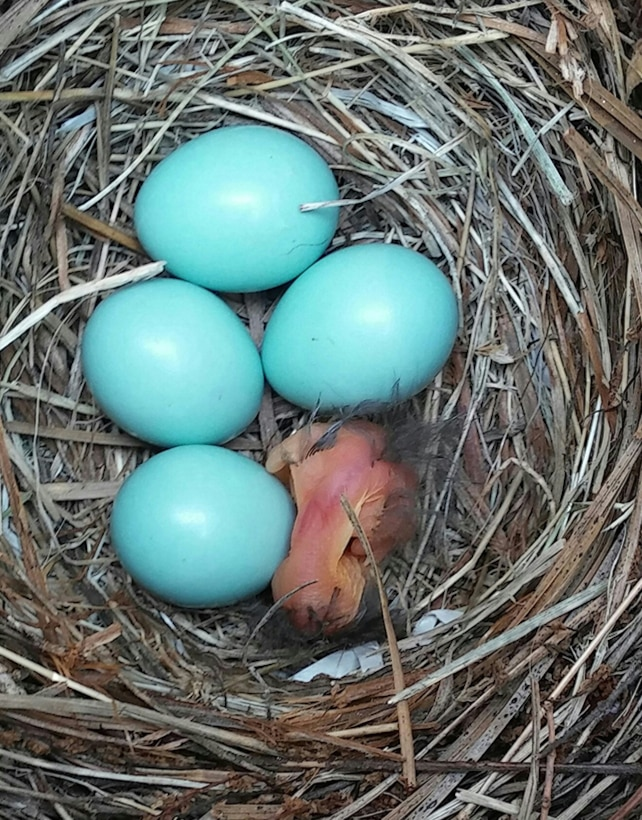 Bluebird hatchlings make their presence known