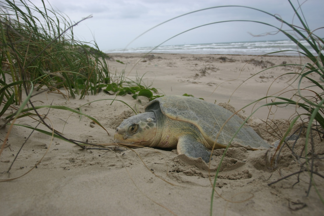 Sea turtle nesting on a semi-secluded beach.