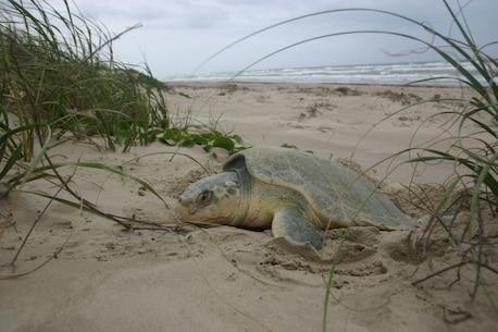 Sea turtle nesting on a semi-secluded beach.