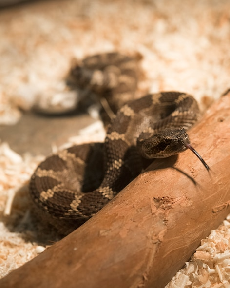 A western diamondback rattlesnake collected by 60th Civil Engineer Squadron pest management facility resides in a glass enclosure, May 24, 2018, Travis Air force Base, Calif. Usually a rare occurrence, entomology specialists can get called out to remove these reptiles from an unsafe situation.  (U.S. Air Force Photo by Heide Couch)