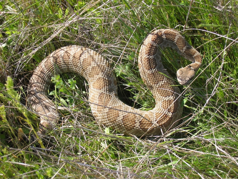 A rattlesnake slithers in the grass at Beale Air Force Base, California. Rattlesnakes are one of the species of snakes found in California. (Courtesy photo by Bruce S. Reinhardt)