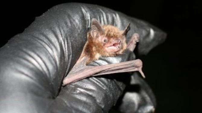 An Indiana bat found at Wright-Patterson during a mist net survey, by the U.S. Fish and Wildlife, June 2017. (Used with permission. U.S. Fish and Wildlife Service courtesy photo/Keith Lott)