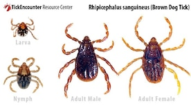 Tick ID courtesy of the University of Rhode Island's TickEncounter Resource Center.