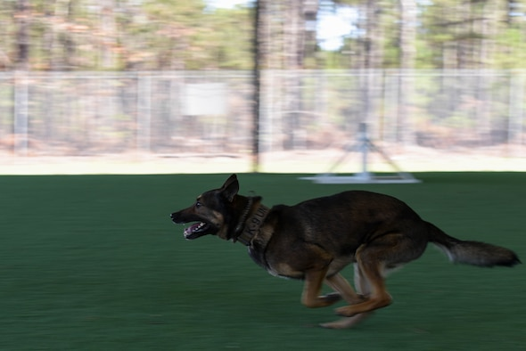 Kato, 20th Security Forces Squadron military working dog (MWD), runs toward a simulated suspect at Shaw Air Force Base, S.C., Feb. 27, 2018.