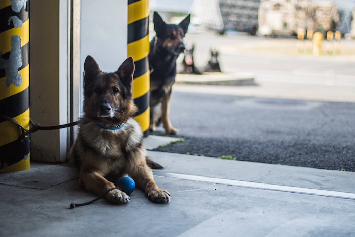 Japanese working dogs wait for their turn to perform a search at Marine Corps Air Station Iwakuni, Japan, March 12, 2018. The training brought Japanese K-9 handlers from the Japan Maritime Self-Defense Force Kure Repair Supply Facility Petroleum Terminal unit and the Hiroshima Police Headquarters to the air station, where they practiced detecting explosives with K-9's.