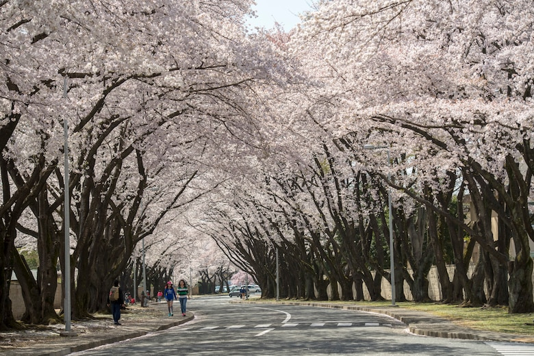 Cherry blossoms are in full bloom along McGuire Avenue at Yokota Air Base, Japan, March 30, 2018