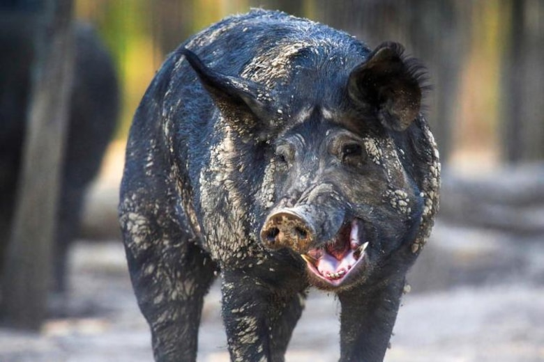 The Kansas City District is a member of the Missouri Feral Hog Partnership, comprised of multiple resource agencies and private land owners, led by the Missouri Department of Conservation and U.S. Department of Agriculture Animal and Plant Health Inspection Service. The goal is to eradicate feral hogs from Missouri.