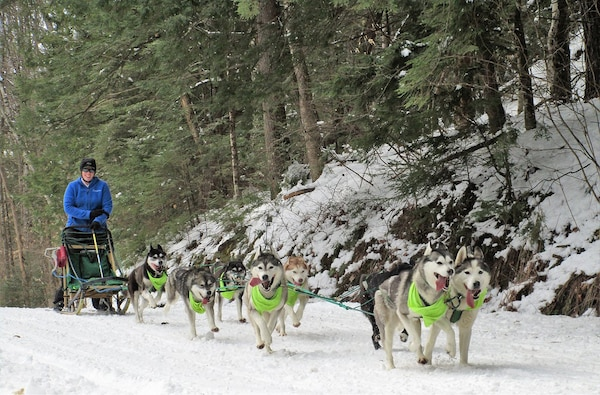 Siberian Husky team running in the Fun Run at Franklin Falls Dam.