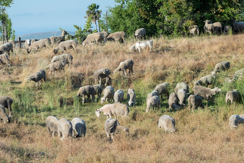 A mixed flock of approximately 300 hundred sheep and goats recently undertook the job of clearing over grown weeds and grass on Travis Air Force Base, May 17, 2018. The animals can easily clear land on steep hillsides and rough rocky terrain, and eliminates the need to dispose of the debris and the use of noisy machinery, while saving time and money. (U.S. Air Force Photo by Heide Couch)