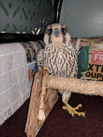 An injured peregrine falcon was found Sept. 5 at Springfield Air National Guard Base in Springfield, Ohio. The falcon was migrating south for the winter when he sustained an injury to the metacarpals in his left wing. (Courtesy photo)