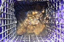 Oysters sitting in a cage while in a water-filled purple bucket.