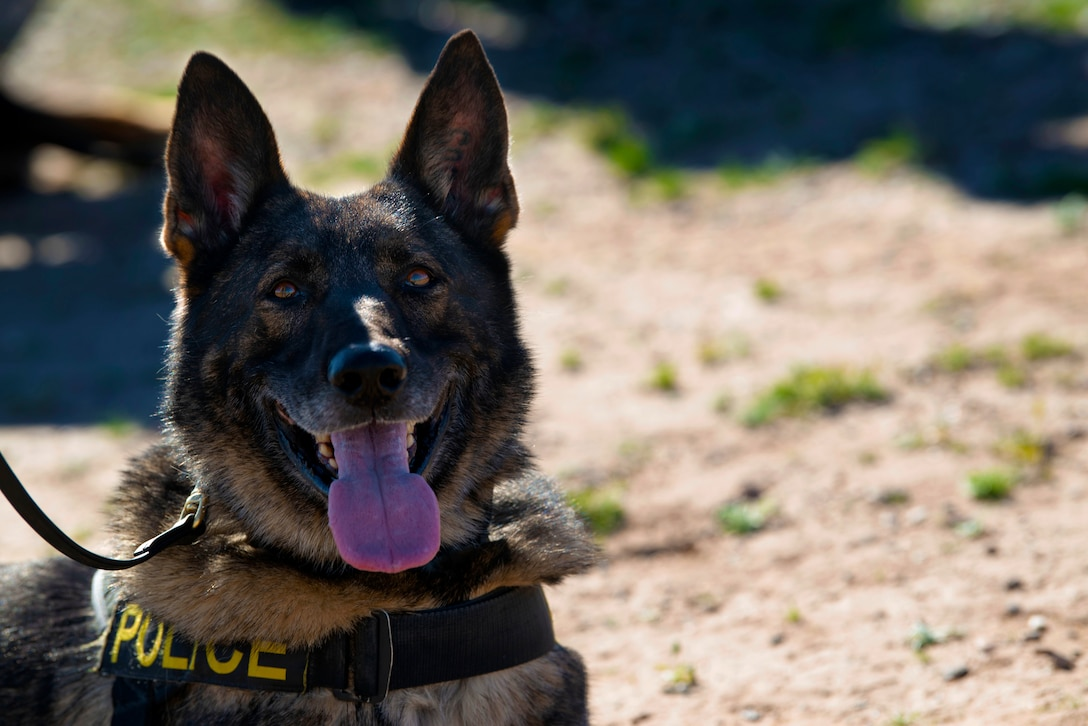A 56th Security Forces Squadron military working dog poses for a photo during a joint training exercise at Glendale Municipal Airport Nov. 2, 2018, in Glendale, Ariz.