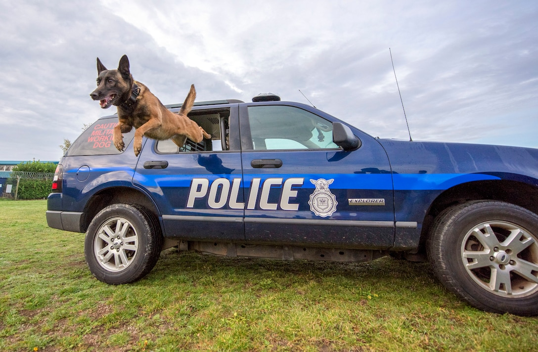 """Military working dog Ukkie jumps out a patrol car as part of MWD daily training at RAF Mildenhall, England, Nov. 6, 2018. The MWD teams train the """"six-phases of aggression"""" on a daily basis, which consists of field interview, pursuit of attach, search, escort and a standoff. (U.S. Air Force photo by Staff Sgt. Christine Groening)"""