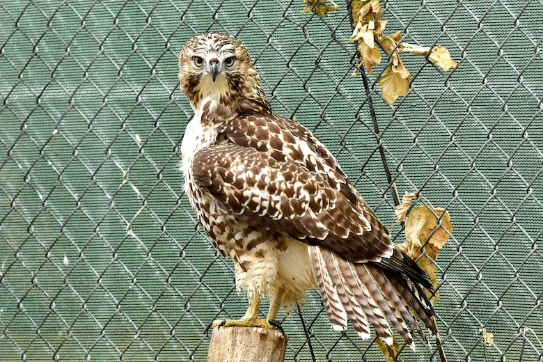 A Swainson's hawk rests on a perch prior to its release November 15, 2018, in the Dakota Zoo, Bismarck, North Dakota. Members of the zoo staff received the bird September 5, 2018, after it was discovered injured on Grand Forks Air Force Base, N.D. It was treated back to health for 30 days before its release into the wild. (Courtesy photo by Mike LaLonde/Dakota Zoo)