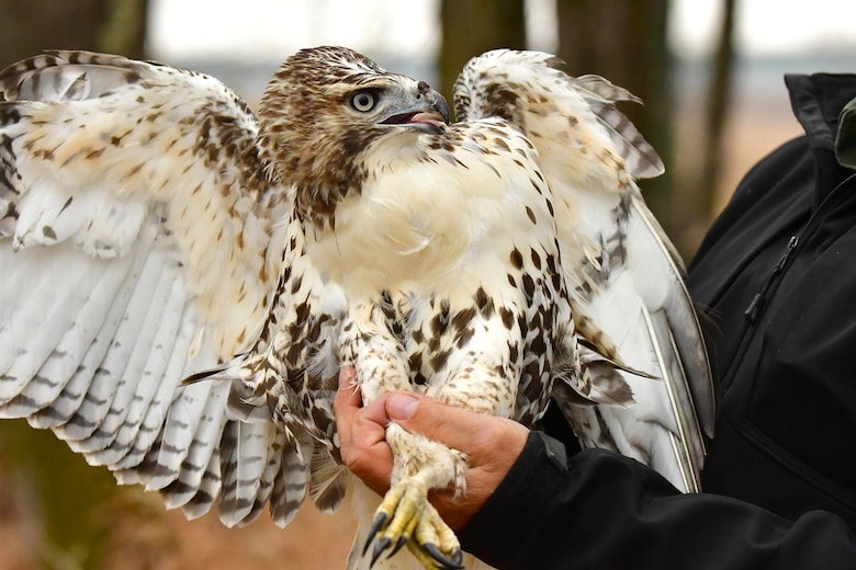 A Swainson's hawk is prepared for release November 15, 2018, in a forested area near Bismarck, North Dakota. The hawk was rescued a month prior by members of the 319th Logistics Readiness Squadron on Grand Forks Air Force Base, N.D. (Courtesy photo by Mike LaLonde/Dakota Zoo)