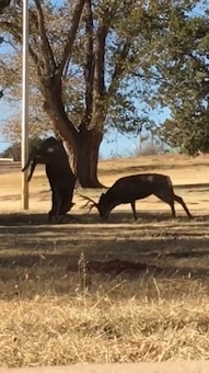 CONCHAS DAM, N.M. – Two deer were sparring when one lunged and did a headstand, burying his rack into the ground behind the project office, Dec. 1, 2016. Photo by Ronald Carter. This 2018 photo drive entry was one in a four-way tie for second place based on employee voting.
