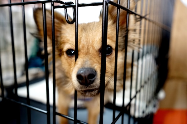 Pancake, a resident of the Chico Municipal Airport temporary animal shelter, peers through her cage in Chico, California, Nov. 18, 2018. Pancake is one of nearly 1800 displaced animals being cared for in shelters managed by the North Valley Animal Rescue Group after the Camp Fire destroyed nearly 8,000 homes.