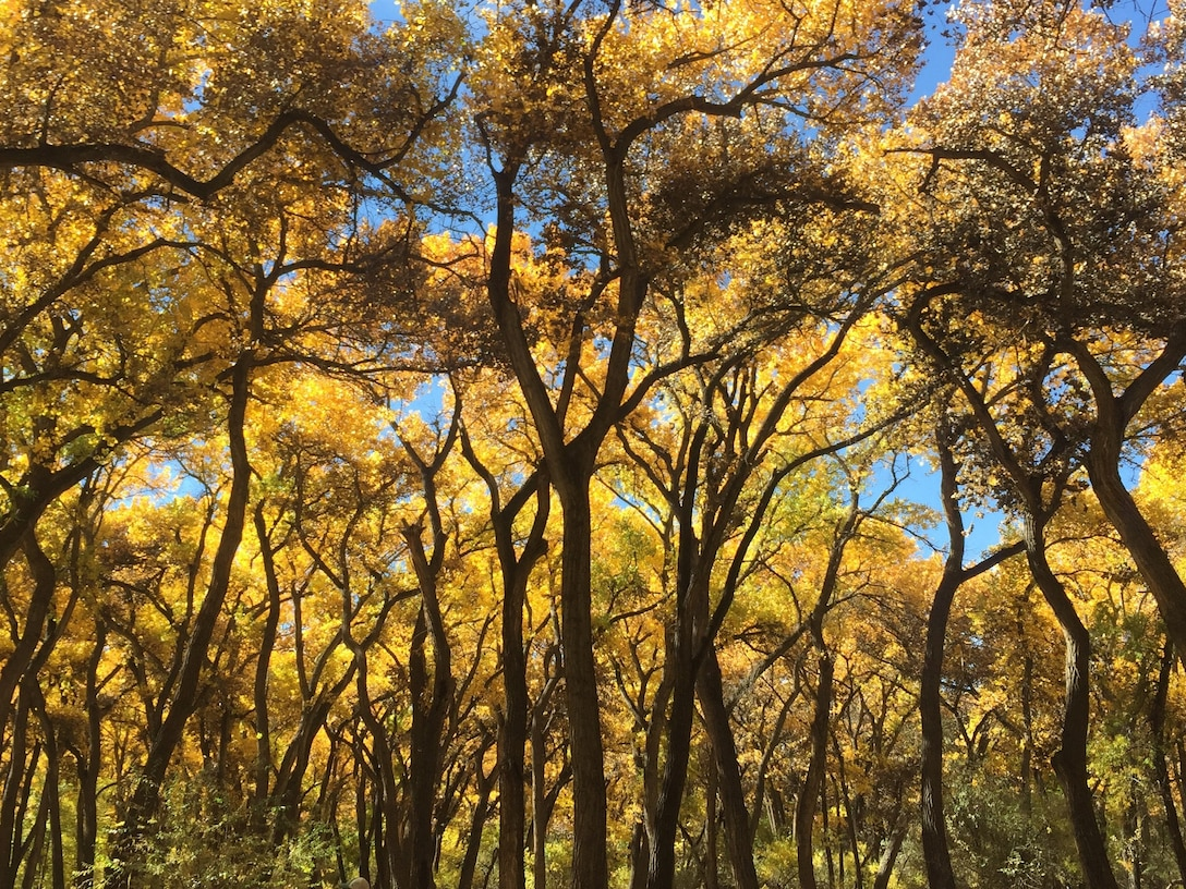 ALBUQUERQUE, N.M. – Cottonwood trees display their autumn leaves, Oct. 25, 2018. The trees are in the bosque, where the District has restoration projects located. Photo by Danielle Galloway. This 2018 photo drive entry tied for second place based on employee voting.