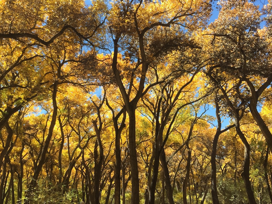 ALBUQUERQUE, N.M. – Cottonwood trees display their autumn leaves, Oct. 25, 2018. The trees are in the bosque, where the District has restoration projects located. Photo by Danielle Galloway. This 2018 photo drive entry was one in a four-way tie for second place based on employee voting.