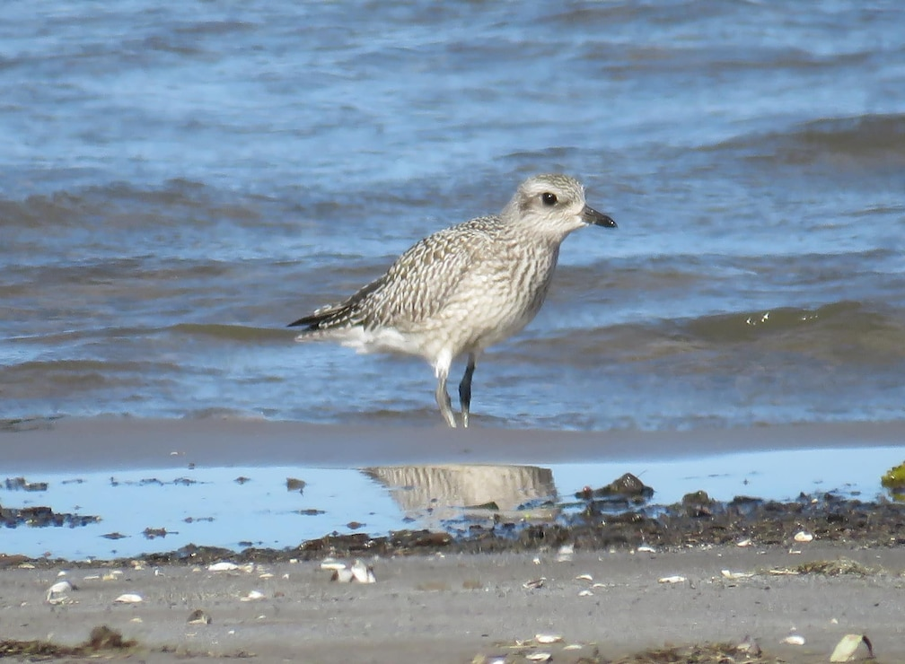 Blackbellied Plover at Braddock Bay. Photo by Kyle Brock.